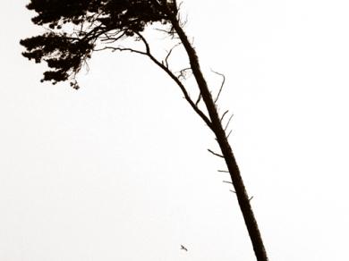 Bérczi Zsófia: Morfománok jelenései - Magányos fenyő, Käseberga, Svédország, 2003